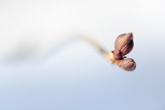 Photo: Winter tree buds