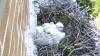 Photo: Hawk chicks