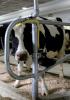 Photo: dairy cow