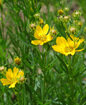 yellow-flowers2