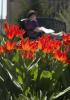 Photo: tulips blooming in Botanical Garden