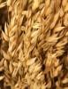 Photo: oats