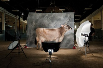 Photo: Dairy cow in photo studio