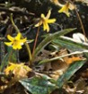 yellow-trout-lilies