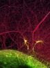Photo: Rat brain cortex