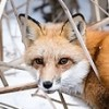 Photo: fox in snow