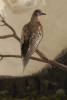 Illustration: Passenger pigeon