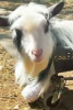 Photo: Goat on cart