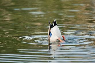 ducks_Lake_Mendota10_6499