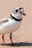 Photo: Piping plover