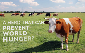 Photo: Still frame of cows from TV commercial