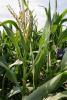 Corn plants in field