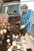 Photo: Farmer sorting potatoes