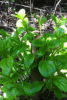 Photo: Buckthorn plants