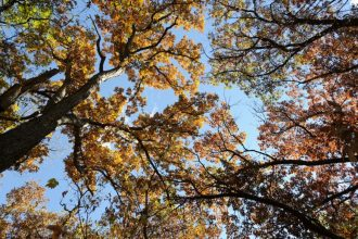 Photo: View looking up at oak tree tops